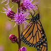 Monarch on Rough Blazingstar
