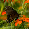 Black Swallowtail on Mexican Sunflowers