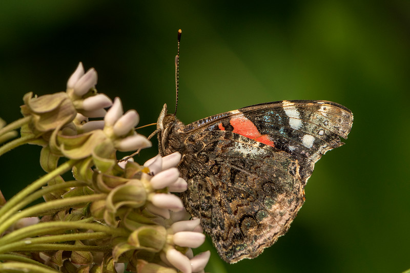 Red Admiral on Milkweed