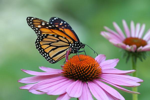 Monarch Butterfly G (Danaus plexippus)