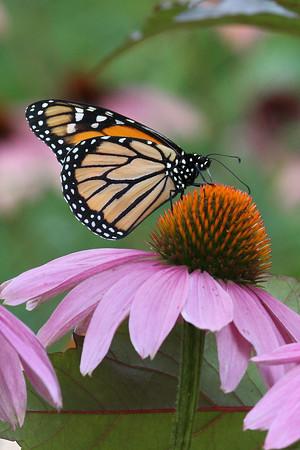 Monarch Butterfly M (Danaus plexippus)