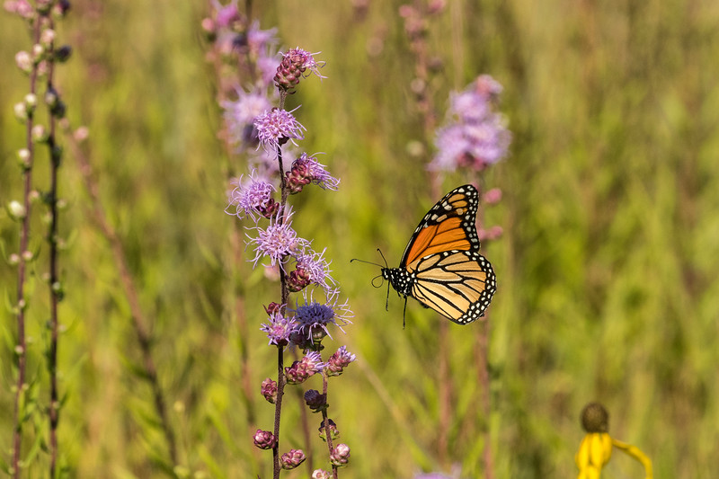 Monarch flying into Rough Blazing Star