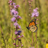 Monarch flying into Rough Blazing Star