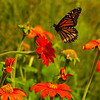 INST-11049: Monarch landing on flower