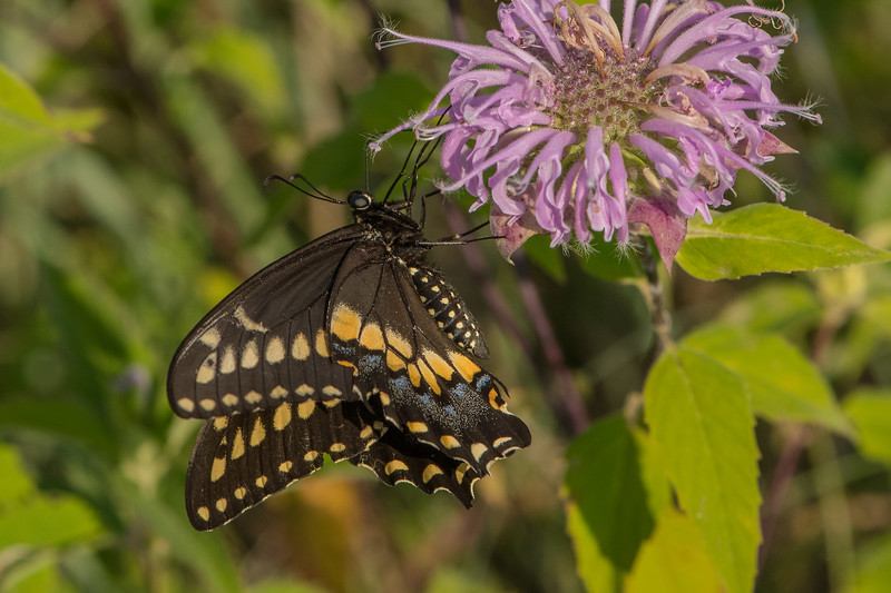 Black Swallowtail on Bee Balm