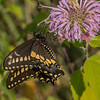 Black Swallowtail on Bee Balm