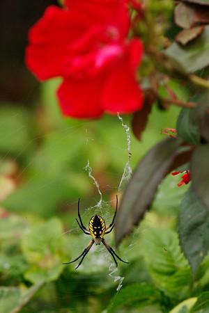 Garden Spider (Argiope aurantia)