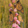 Monarch Trio