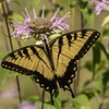 Tiger Swallowtail on Wild Bergamot