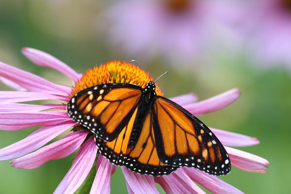 Monarch Butterfly E (Danaus plexippus)
