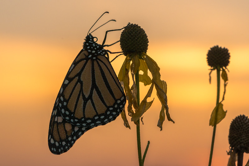 Monarch during twilight