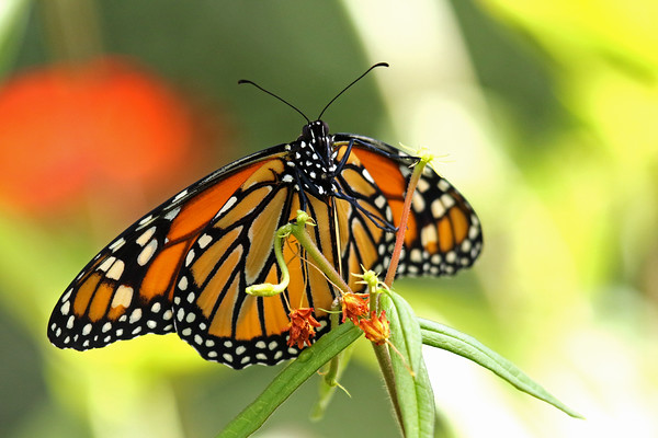 Monarch Butterfly (Danaus plexippus) On Butterfly Weed.