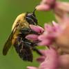 Bumble bee on milkweed flowers