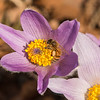 Honey Bee on Pasque flowers