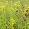 Monarch trio on the prairie