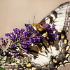 Eastern Tiger Swallowtail and Snowberry Clear Wing Moth on Butterfly Bush