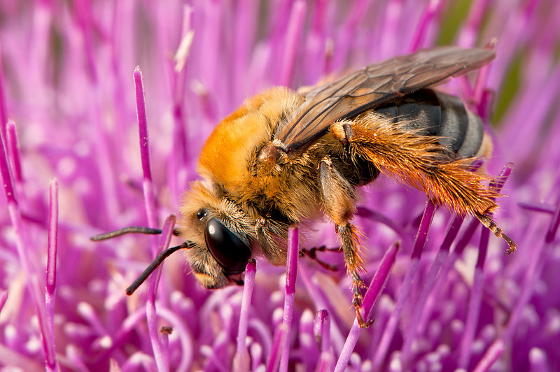 INST-11004: Honey Bee on thistle (Apis milifera)