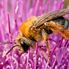 INST-11004: Honey Bee on thistle (Apis milifera)