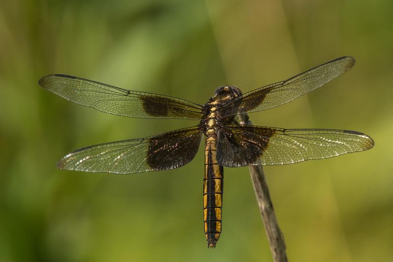 Widow Dragonfly
