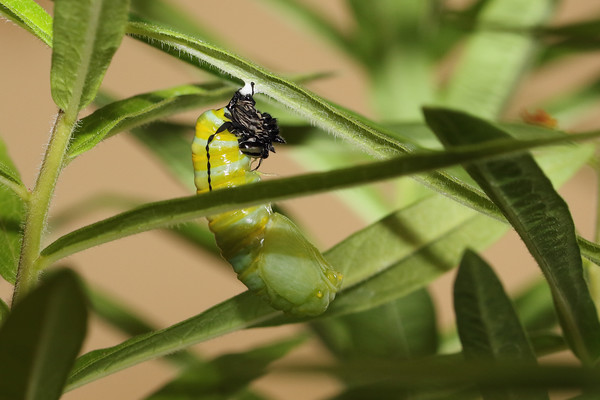 Monarch (Danaus plexippus) Pupation
