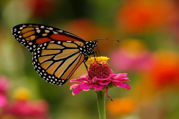 Monarch Butterfly A (Danaus plexippus)