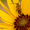 Soldier Beetle on Sunflower