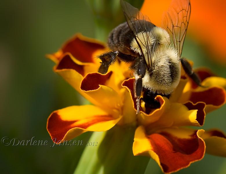Bumblebee on Marigold