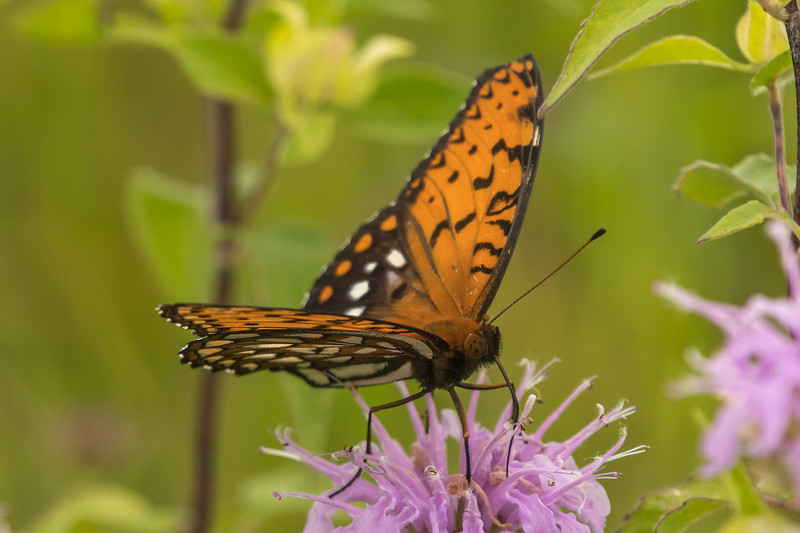 Male Regal Fritillary on Wild Bergamot