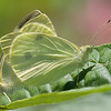Cabbage Whites<br /> Mating