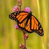 Male Monarch on Rough Blazing Star