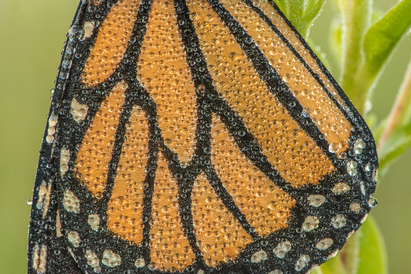 Wings of dew-covered Monarch