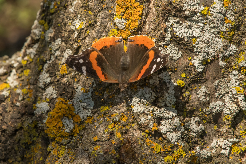 Red Admiral on Crabapple Tree
