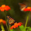 INST-11042: Monarchs on Tithonia flowers (Mexican Sunflowers)