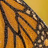 Monarch pattern