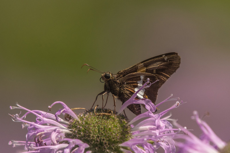 Silver-spotted Skipper on Bee Balm