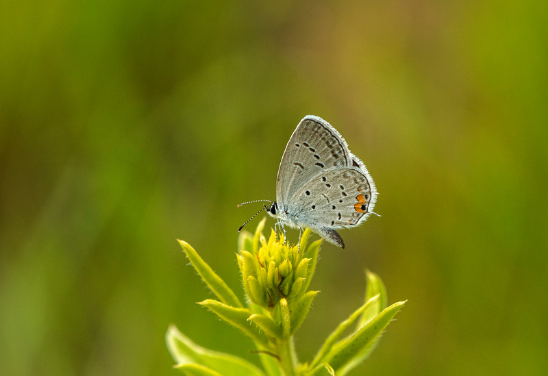 Eastern Tailed/blue