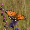 Female Regal Fritillary on Rough Blazing Star