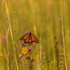 Roosting Monarchs on the prairie