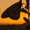 Monarch at sunrise