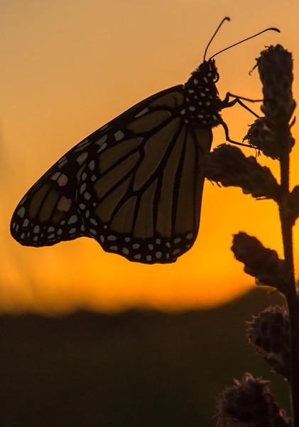 Monarch at sunrise