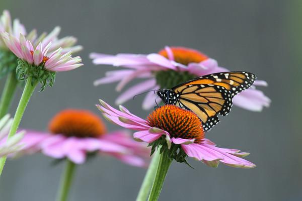 Monarch Butterfly P (Danaus plexippus)
