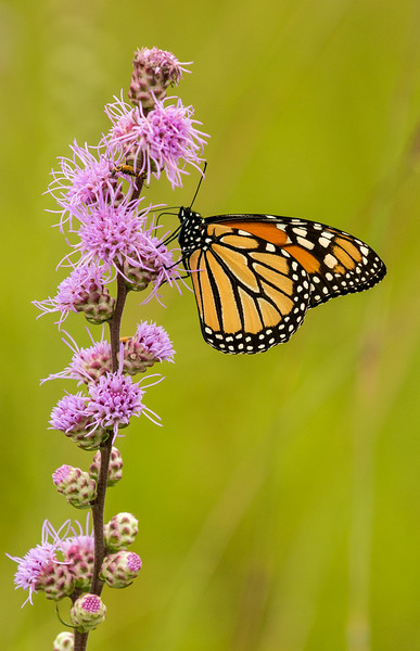 Monarch Butterfly on Rough Blazing Star