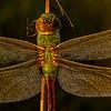 Green Darner Dragonfly close-up