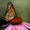 Viceroy on Purple Coneflowers