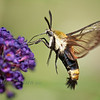 Snowberry Clear Wing Moth