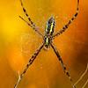 Orb Weaver Spider at sunrise