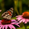 American Lady on Purple Coneflower
