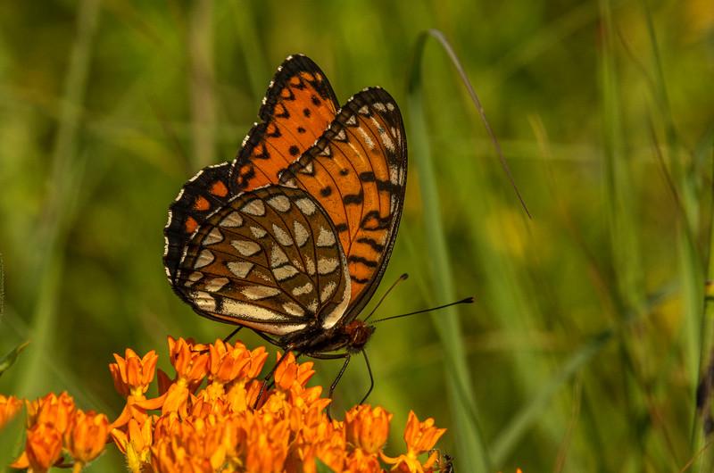 Regal Fritillary on Butterfly Milkweed