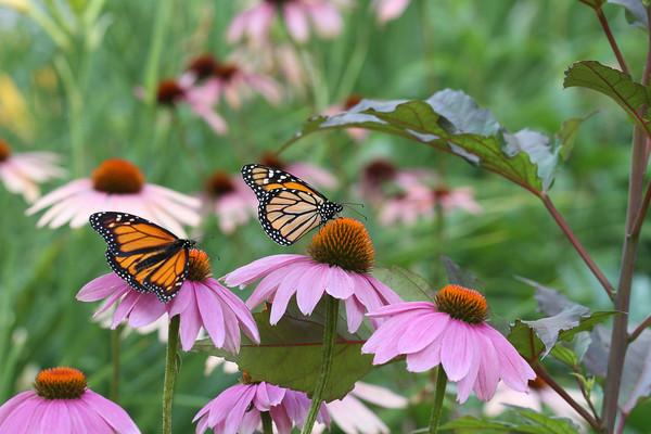 Monarch Butterfly's #1 (Danaus plexippus)