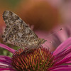 Painted Lady on Purple Cone Flower